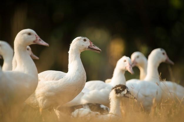 Canard dans une ferme, filtre de processus vintage