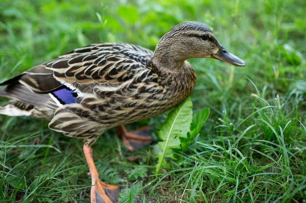 Canard dans le parc sur l'herbe verte