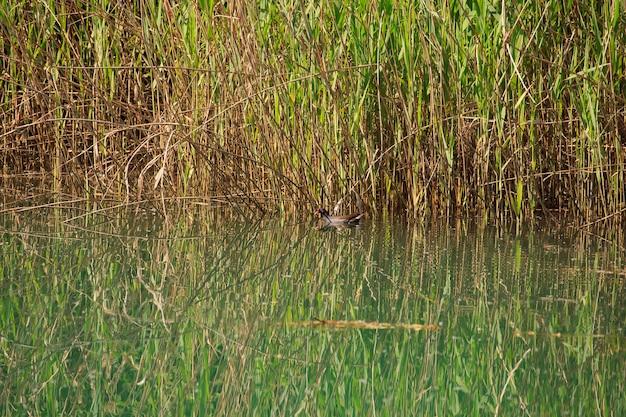 Canard dans la rivière