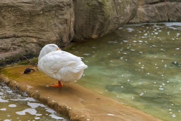 Canard domestique blanc debout dans l'étang