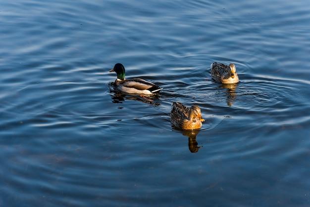 Canard sur l'eau