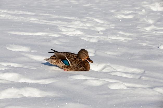 Le canard est resté pour l'hiver
