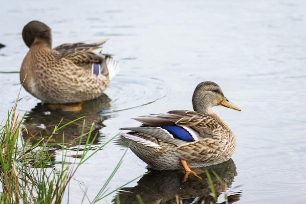 Canard flottant dans un étang
