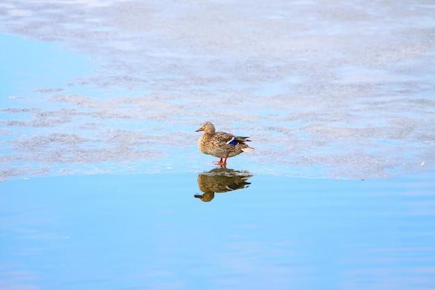 Un canard sur glace