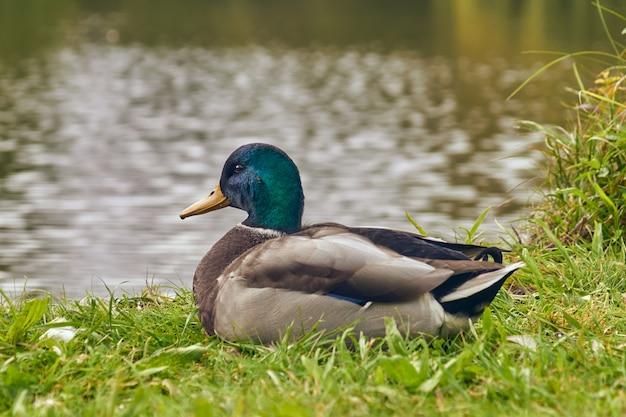 Canard sur l'herbe verte au bord du lac