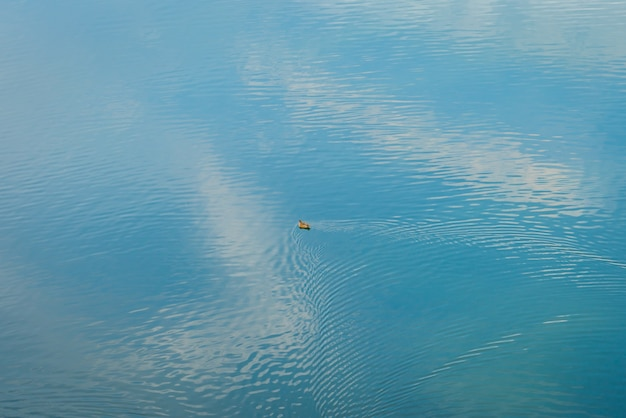 Canard sur le lac.