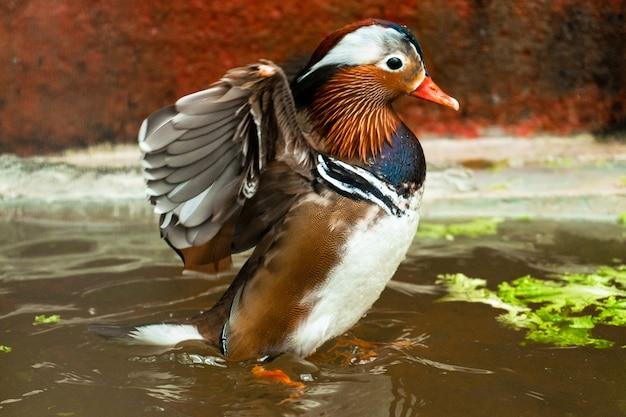 Canard mandarin ou aix galericulata à la ferme d'oiseaux.