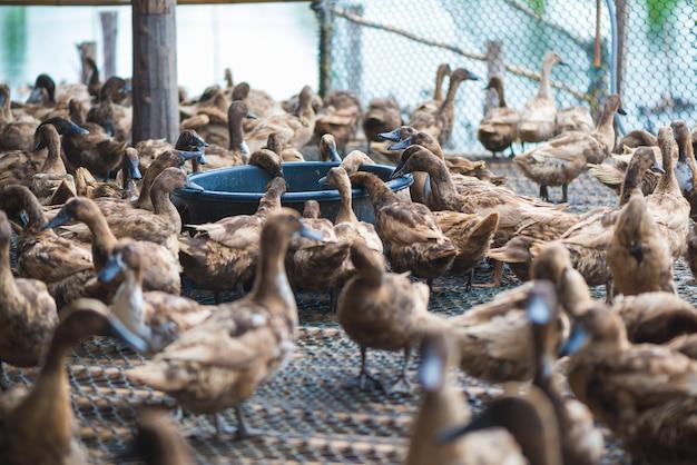 Canard mangeant de la nourriture dans une ferme, agriculture traditionnelle.