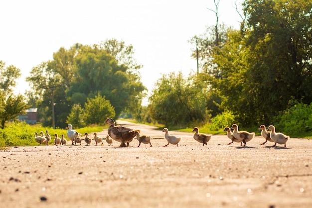 Un canard mène ses canetons à travers la route. canard mère avec petits canetons.