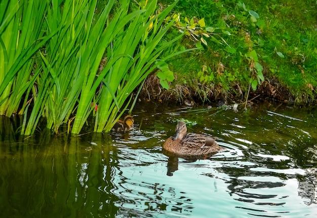 Canard mère avec des canetons nageant sur la surface du lac