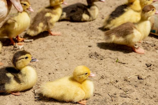 Canard mère avec ses canetons