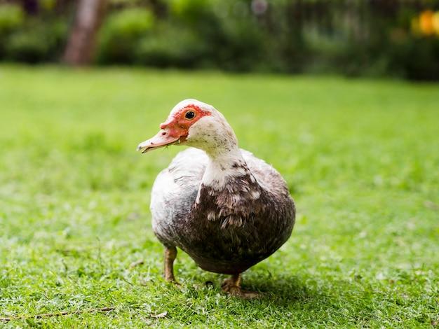 Canard mignon marchant à l'extérieur