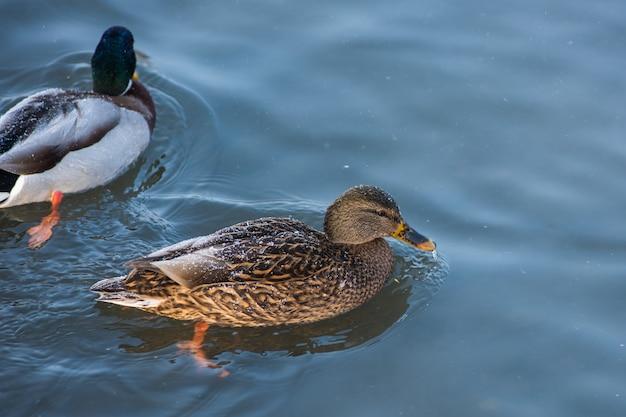 Canard nageant dans le lac