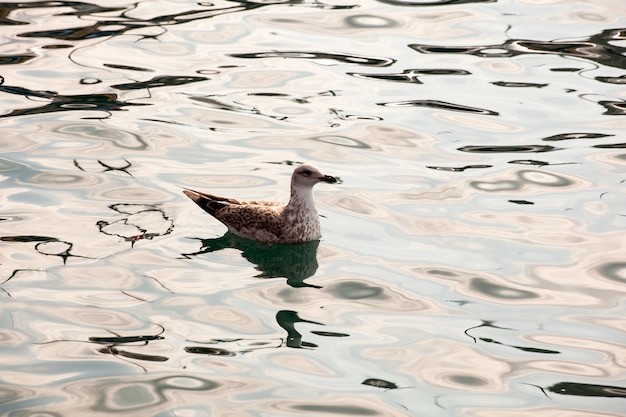 Canard nageant sur l'eau