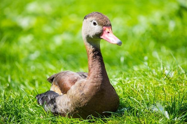 Canard noir assis sur l'herbe verte pendant la journée