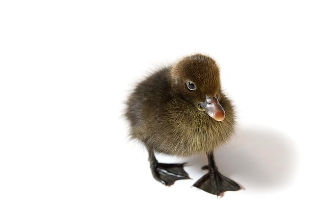 Canard nouveau-né brun gros plan sur blanc