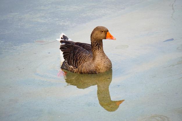 Canard d'oie dans l'eau