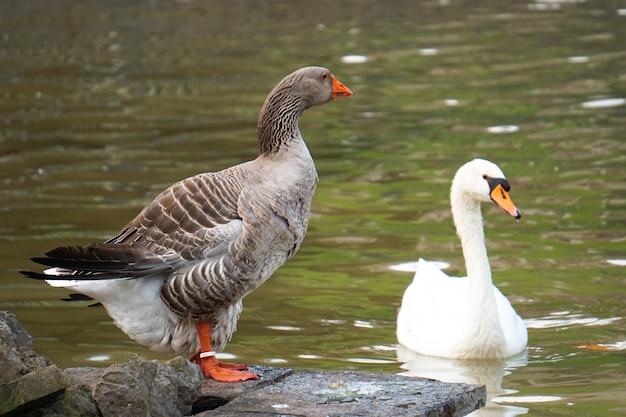 Le canard d'oie dans le lac dans le parc