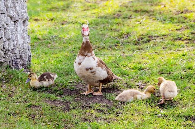 Canard avec petit canard sur l'herbe verte