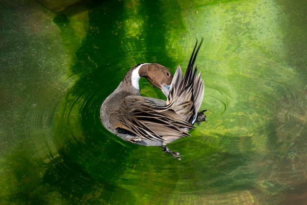 Canard pilet mâle se nettoyant sur l'eau