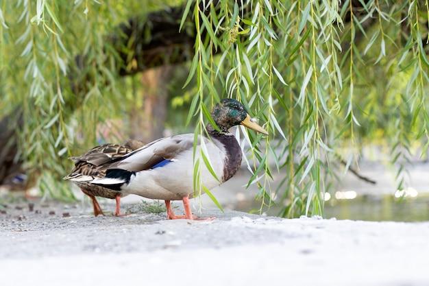 Canard regarde hors de feuilles de saule avec une plume sur son bec
