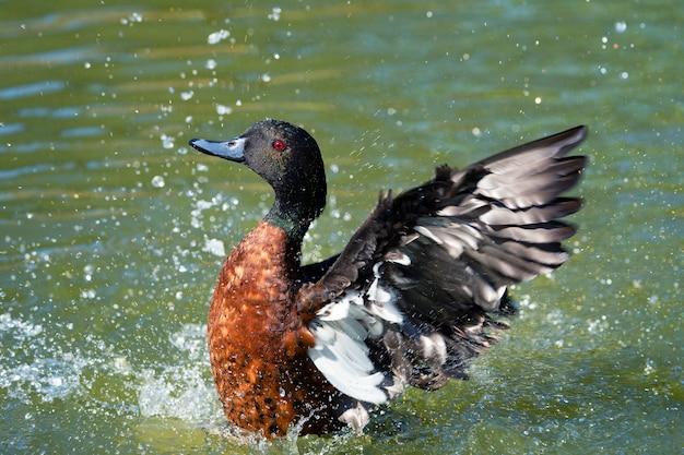 Canard en remuant dans l'eau, france