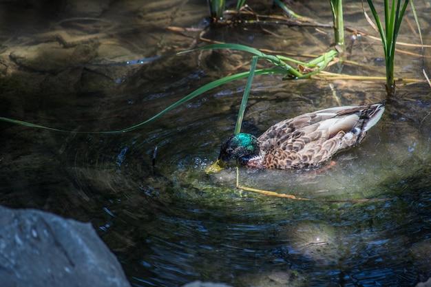 Canard sauvage dans l'eau en rivière