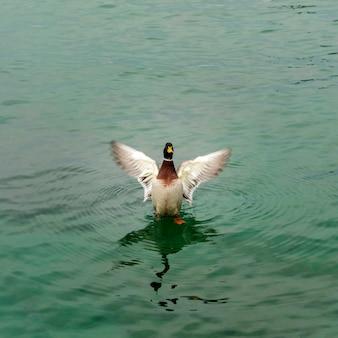 Canard sauvage du lac de garde en hiver. les basses températures les rendent lents et plus silencieux.
