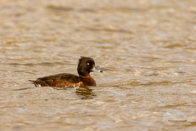 Canard touffeté femelle aythya fuligula sur un lac