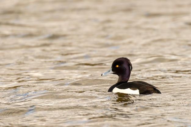 Canard touffeté mâle aythya fuligula sur un lac