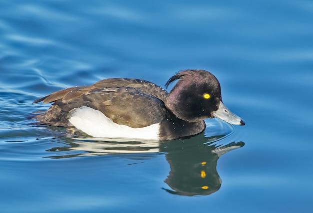 Le canard tufté aythya fuligula portrait avec réflexion de l'eau.belle lumière du soleil douce