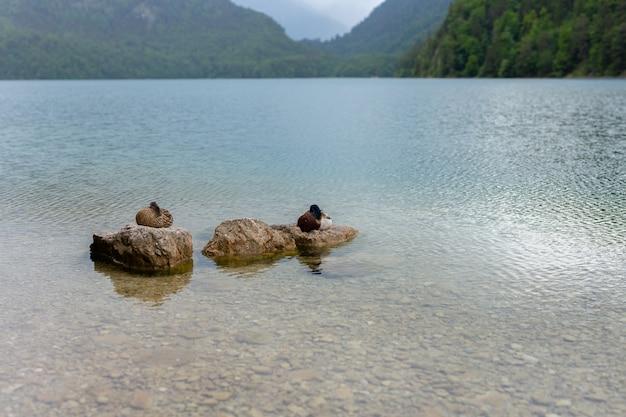 Canards assis sur une pierre