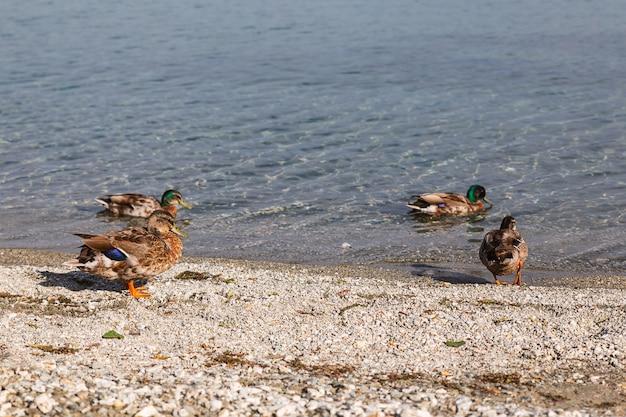 Canards au bord du lac à wanaka, nouvelle-zélande