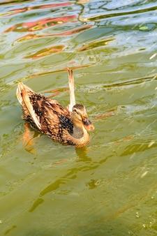 Canards bruns nageant dans une piscine naturelle