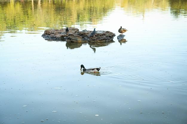 Canards et colombe assis sur la pierre dans le lac