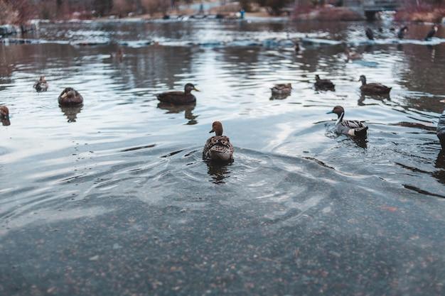 Canards colverts sur étang