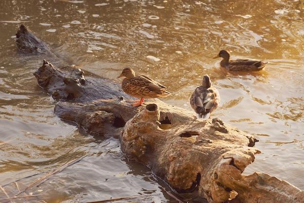 Canards dans l'eau dans les rayons du soleil couchant