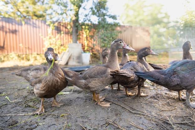 Canards dans un enclos à la ferme