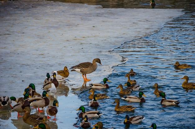 Canards et drakes sont assis sur la glace de la rivière