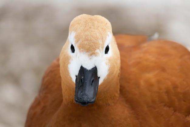 Canards sur l'étang dans le parc. tête de canard se bouchent. portrait d'oiseau.
