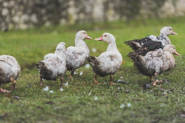 Canards gris marchant sur la pelouse