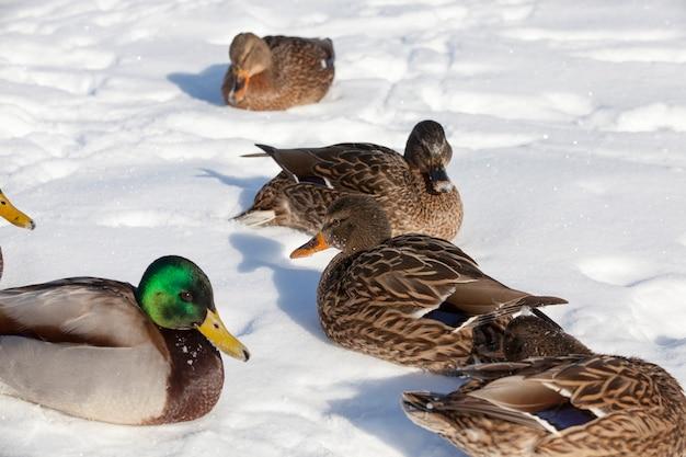 Canards hivernant en europe, saison hivernale avec beaucoup de neige et de givre, les canards vivent dans la ville près de la rivière, en hiver ils sont nourris par des gens