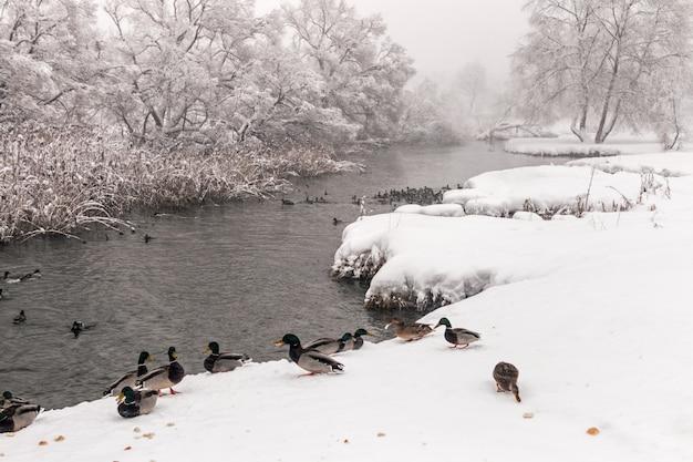 Canards hivernant sur la rivière de la forêt gelée