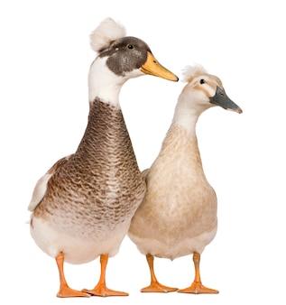 Canards huppés mâles et femelles debout devant un fond blanc