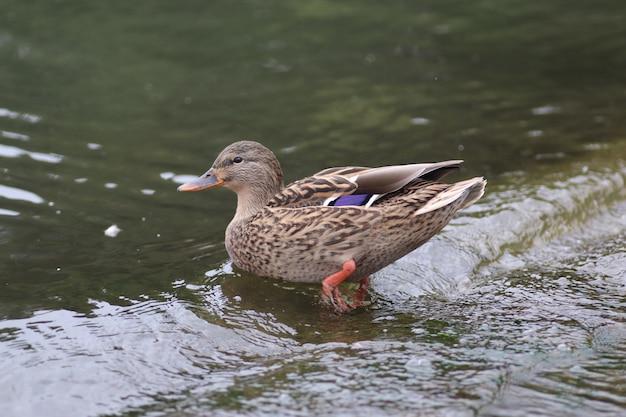 Canards sur un lac froid une paire de canards