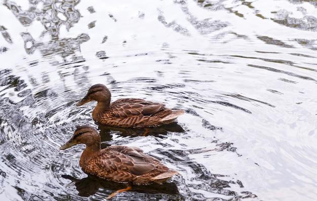 Canards sur un lac