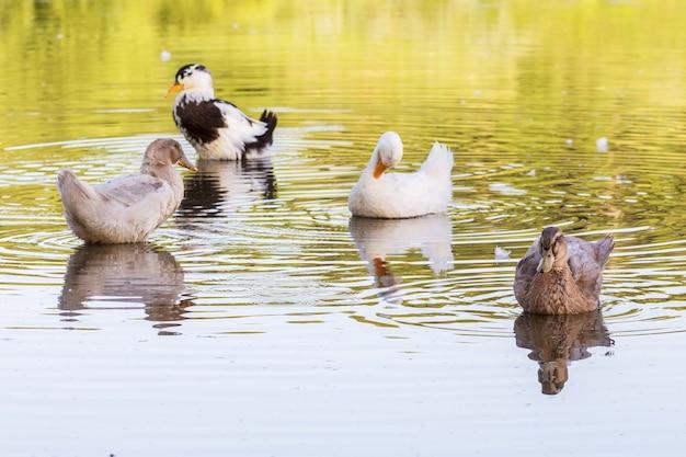 Des canards multicolores flottent le long de l'eau de la rivière par temps ensoleillé