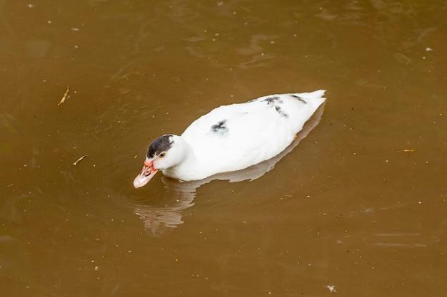 Canards nageant dans un étang à la ferme.