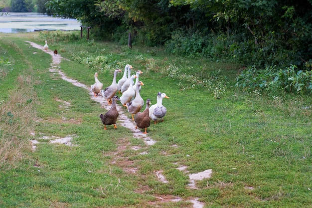 Les canards et les oies suivent le chemin de la rivière