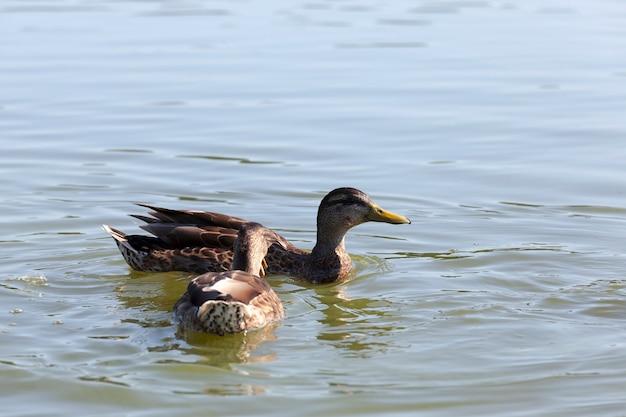 Canards oiseaux sauvages